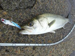 旧江戸川シーバス釣り デイゲーム